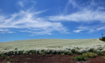 Pyrethrum Fields